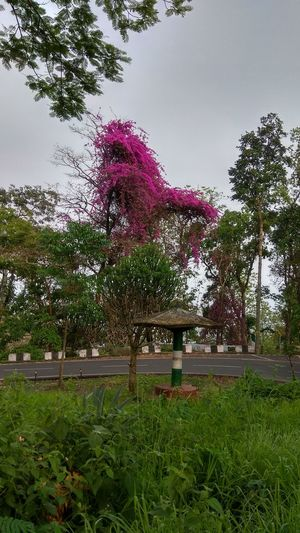 pink Pink Travel Photography Boganvilla Flowers Tree Flower Sky Grass