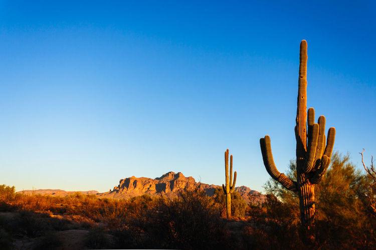 Cactus in desert against clear blue sky