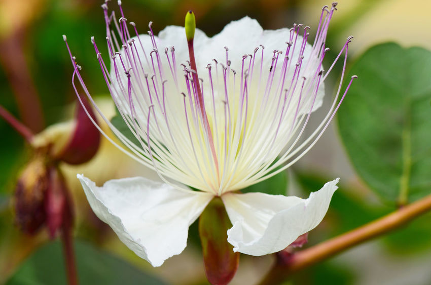 Caper Flower, Capparis spinosa, (fiore del cappero). Beauty In Nature Blooming Blossom Botany Caper Flower Caper Plants Close-up Flower Flower Head Focus On Foreground Fragility Freshness In Bloom Nature Nature's Diversities - 2016 EyeEm Awards Nature's Diversities 2016 EyeEm Awards Outdoors Petal Pink Color Plant Pollen Selective Focus Stamen Stem White Color