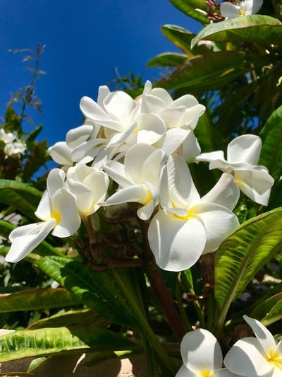 No People Nature Sky Scenics Beauty In Nature Flower Day Freshness Petal Growth Blossom Plant Blooming Plumeria Flowers Plumeria Blossoms Plumeria White White Flower Blue Sky Growth White Color Beauty In Nature Fragility Nature Flower Head Freshness Plant Leaf Close-up Outdoors Tree