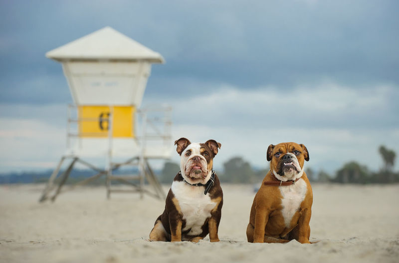 Two English Bulldog puppies Animal Pets Dog Domestic Animals Animal Themes Beach Portrait No People Cloud - Sky Canine English Bulldog Bulldog Lifeguard Tower Ocean Beach California Togetherness Sitting Siblings 6