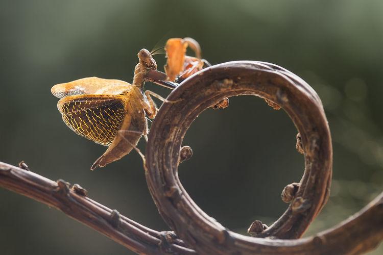 Astyliasula phyllopus on nature place