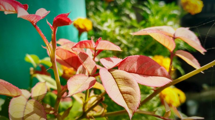 Leaf Rose Leaves Rose Plant Reddish Nature Lovely Nature