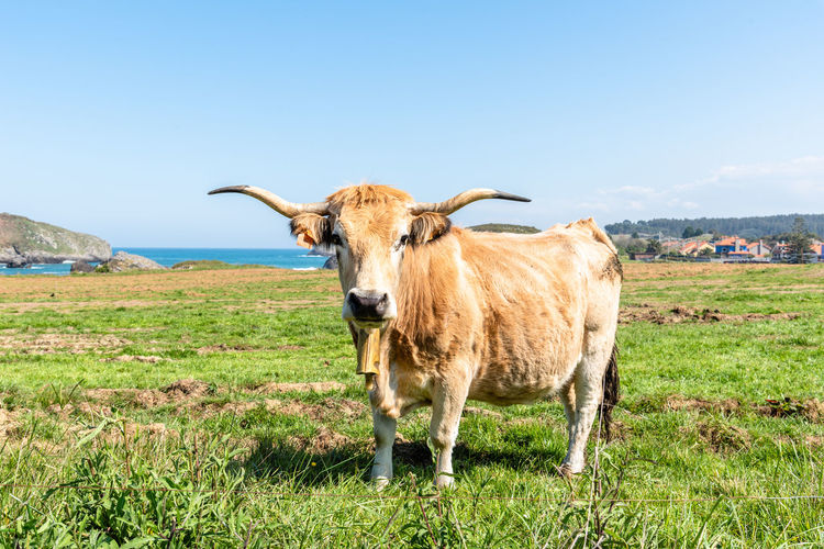 Portrait of cow standing on field