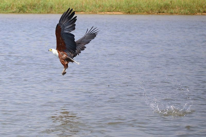 Fish Eagle African Fish Eagle Fischadler Africa Namibia BOTSWANA Chobe Botsuana Animal Wildlife Action Catch Waterfront Bird Flying Water Bird Eagle Spread Wings Nature Water One Animal Animal Wing Animals In The Wild Motion