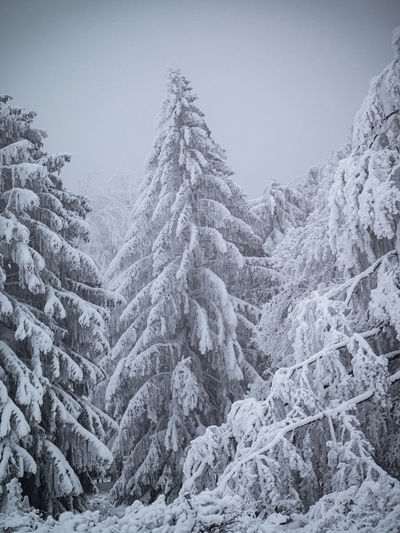 Pine trees in forest against clear sky during winter