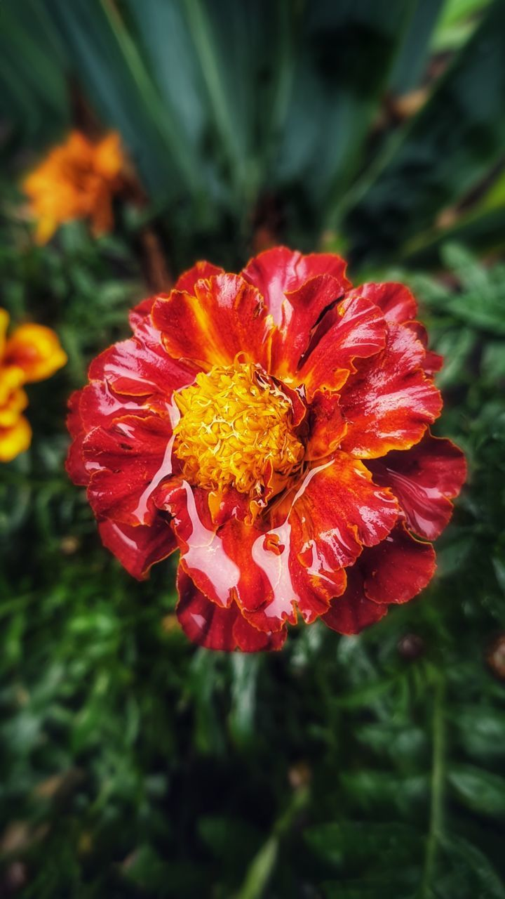 flowering plant, flower, vulnerability, fragility, beauty in nature, plant, freshness, petal, flower head, inflorescence, growth, close-up, red, focus on foreground, nature, day, no people, outdoors, pollen
