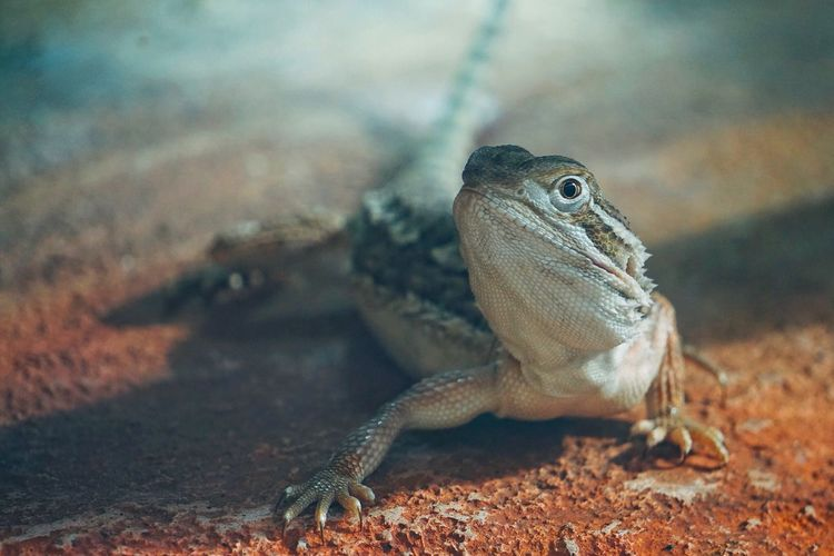 One Animal Animal Themes Reptile Close-up Animal Wildlife Animals In The Wild Lizard Bearded Dragon Nature No People Day Outdoors