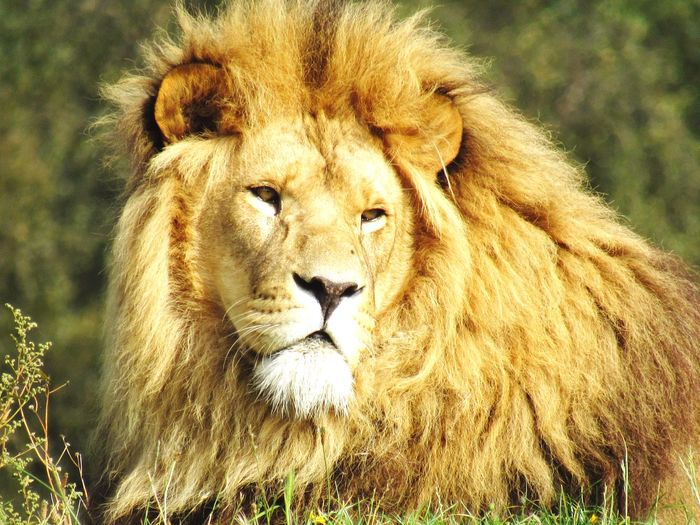 Portrait Lion -