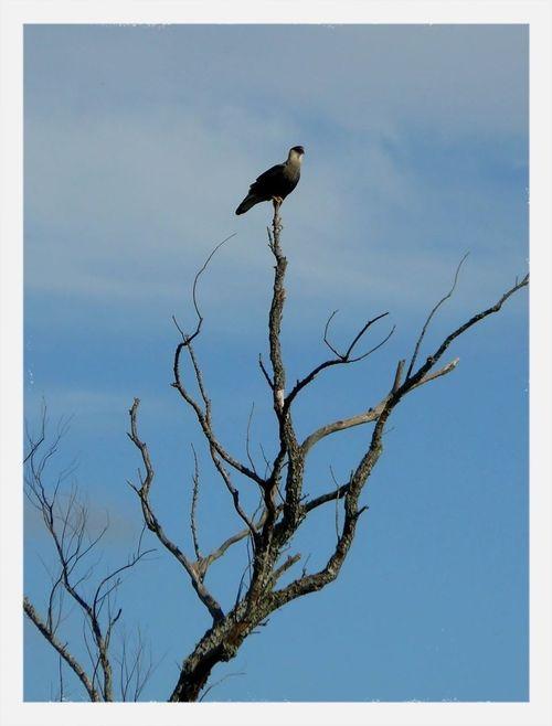 Nature Argentina Aves Carancho