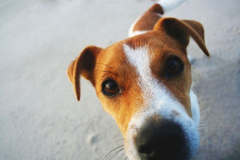 Close-up portrait of jack russell terrier on footpath