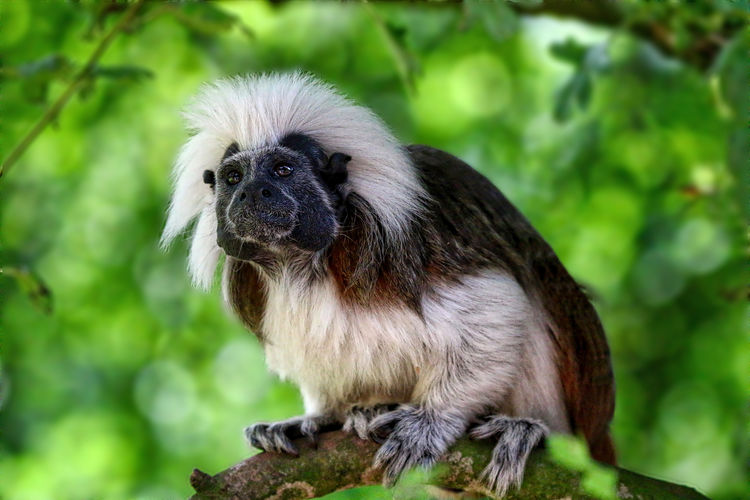 Cotton Top Tamarin Animal Body Part Animal Head  Animal Themes Beauty In Nature Bird Of Prey Close-up Day Focus On Foreground Nature No People Outdoors Portrait Selective Focus Wildlife