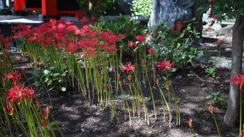 土の中 Spiderlily Red Flowerporn M.zuiko Buddhism Photowalk Streamzoofamily