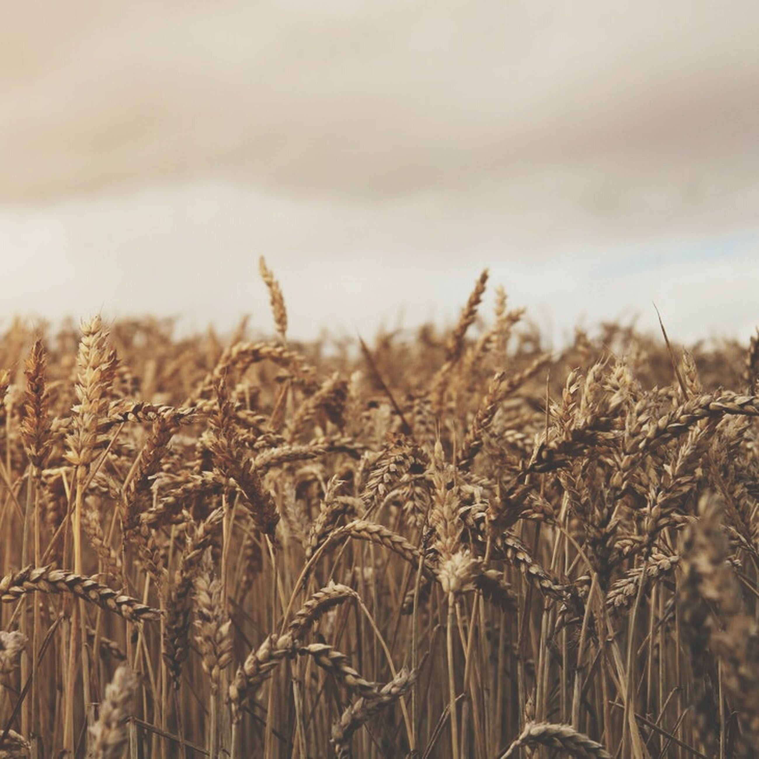 agriculture, field, rural scene, crop, growth, cereal plant, farm, wheat, nature, sky, plant, tranquility, landscape, focus on foreground, dry, beauty in nature, close-up, tranquil scene, outdoors, grass