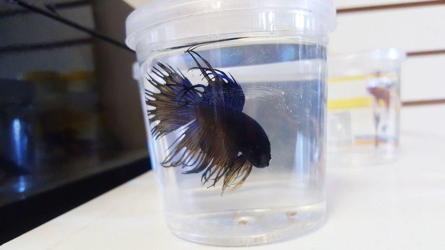 Dinky Reptiles and Aquatics DinkyReptiles Betta Fish Fish Pets Petstore