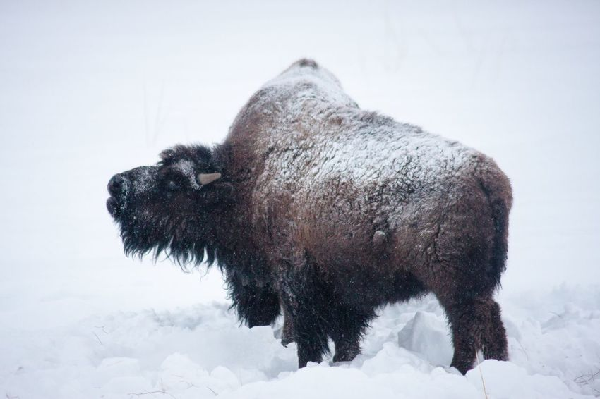 Roaring Buffalo American Bison EyeEm Selects Snow Cold Temperature Winter Nature Tree Animal Themes Animal Mammal Sky No People Animals In The Wild Day Outdoors Animal Wildlife Field One Animal