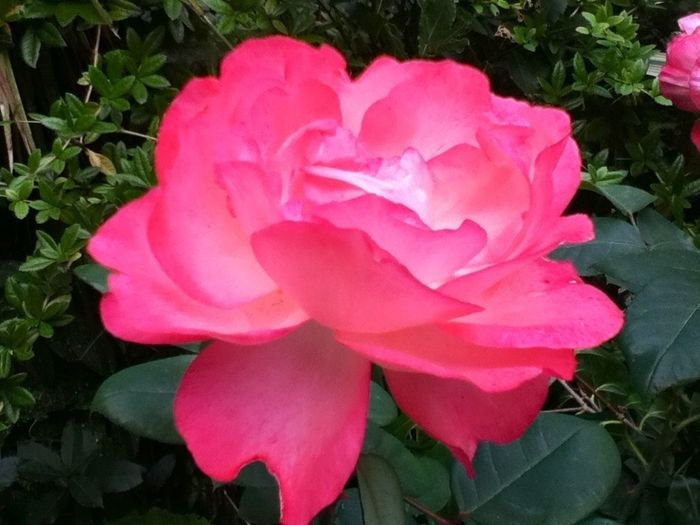 je me suis installée dans la vérenda et j'ai apperçu cette jolie rose alors j'ai eu envie de la prendre en photo :)