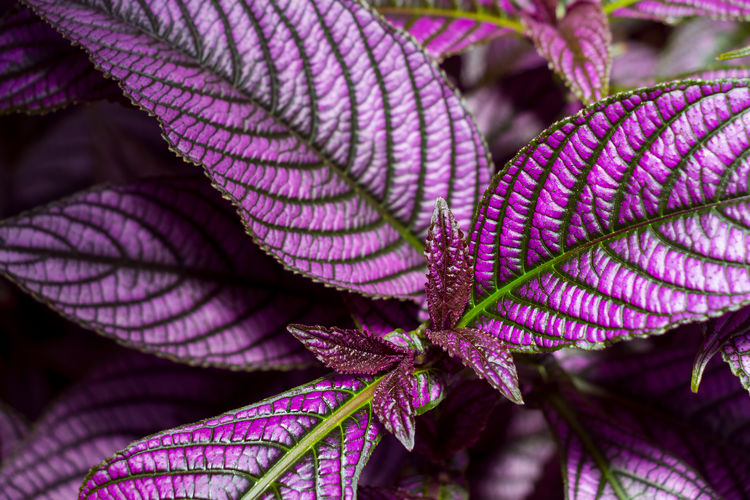 Close-up of purple leaves