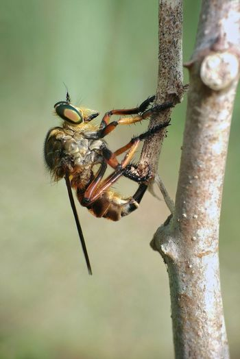 Roberfly Insect