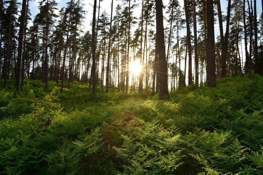 Beauty In Nature Day Fern Ferns Forest Growth Landscape Latvia Lettland  Nature No People Outdoors Pine Tree Pinetrees Plant Scenics Sky Sun In The Forest Sunlight And Shadow Tree Tree Shadow Woods