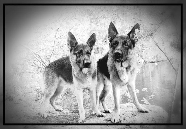 Dog Pets German Shepherd Outdoors No People Animal Themes MyBoys♥ Love ♥ Aksujarene Follow