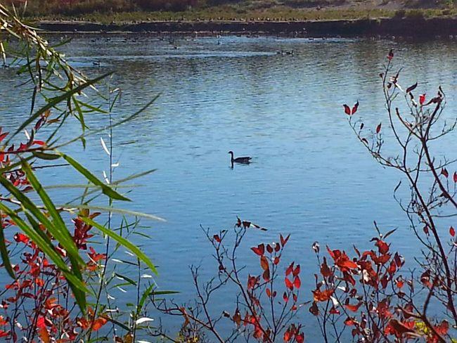Nature Photography South Saskatchewan River Autumn 2015 Fall Season Canadian Geese