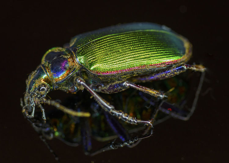 Fiery searcher Beauty In Nature Close-up Fiery Searche Green Color Insect Nature One Animal Selective Focus Zoology