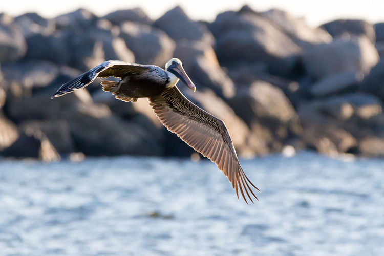 Animal Bird Animal Themes Animal Wildlife Animals In The Wild Vertebrate One Animal Flying Spread Wings Water Mid-air No People Nature Focus On Foreground Day Motion Rock Sunlight Solid Outdoors Seagull Pelican