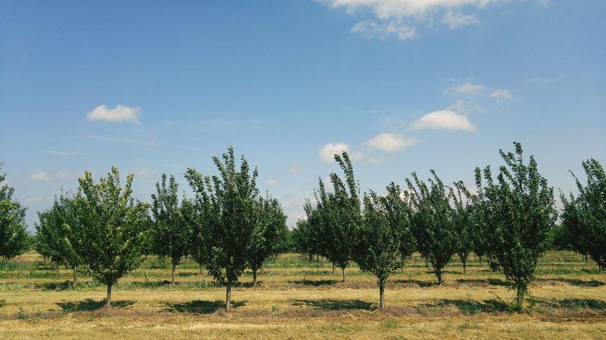 Spontaneous Adventures Apple Trees Garden Niagara Trees In A Row Tree Farm Shadows Blue Sky Clear Blue Sky Clouds And Sky Showcase July The Great Outdoors - 2018 EyeEm Awards