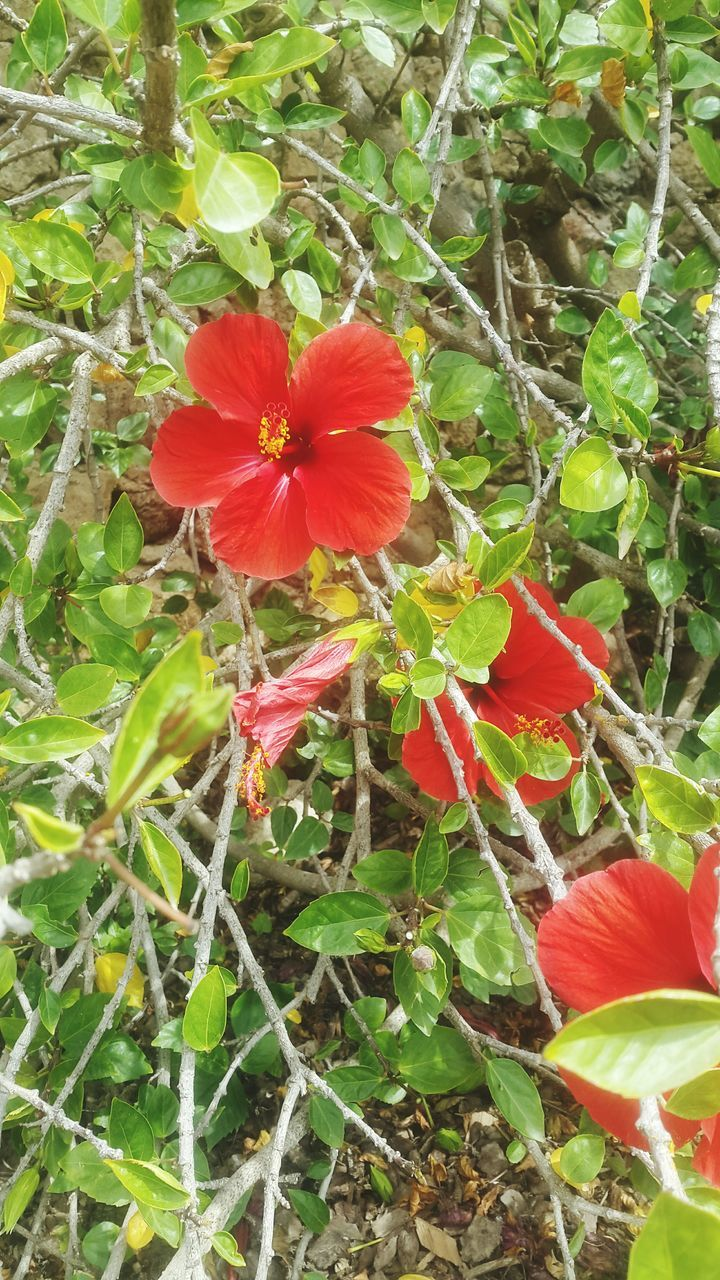 flower, growth, fragility, plant, petal, nature, beauty in nature, flower head, red, day, outdoors, freshness, blooming, no people, leaf, green color, hibiscus, close-up, periwinkle