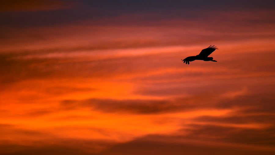 Silhouette bird flying in sky