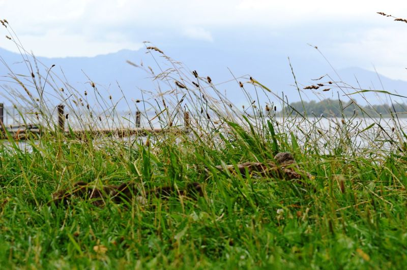 Water Sky Plant Outdoors No People Nature Lake Growth Grass Field Day Bird Beauty In Nature Animal Themes