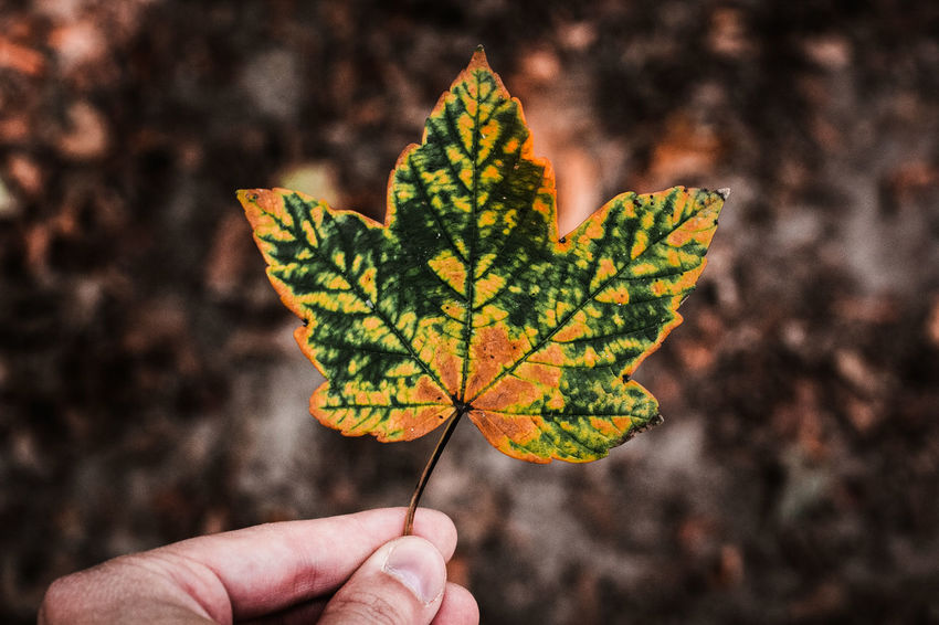 Blatt Herbst Jahreszeit Nature Autumn Beauty In Nature Change Close-up Color Focus On Foreground Holding Human Hand Leaf Nature One Person Oudoors Outdoors Seasons Wald War