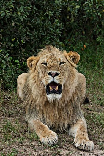Close-Up Of Lion Sitting In Field