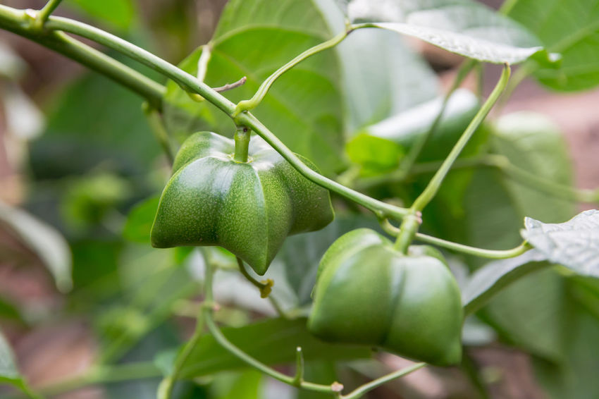 unripe green sacha inchi hanging from a sacha inchi tree Growing Peanuts Branch Day Food And Drink Fresh Freshness Fruit Fruits Green Color Growth Healthy Eating Leaf Nature Oganic  Oli Omega 3 Outdoors Plant Plant Part Protein Selective Focus Tree Vegetable