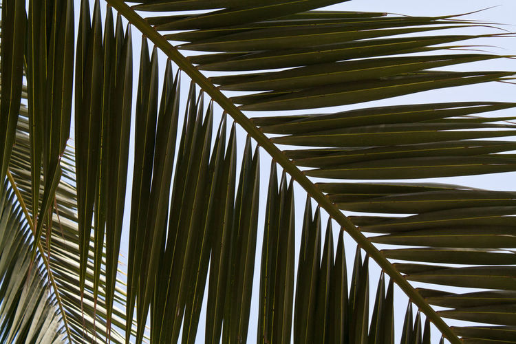 Close-up of coconut palm leaves against sky
