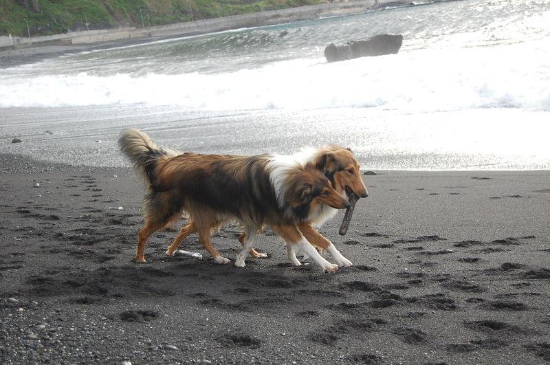 Playful rough collies at beach