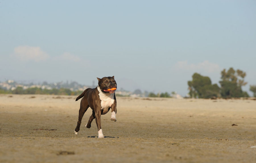 American Staffordshire Terrier dog Pit Bull Staffordshire Am Staff American Staffordshire Terrier Animal Themes Beach Blue Nose Cropped Ears Day Dog Domestic Animals Mammal Nature No People One Animal Outdoors Pets Pitbull Running Sand