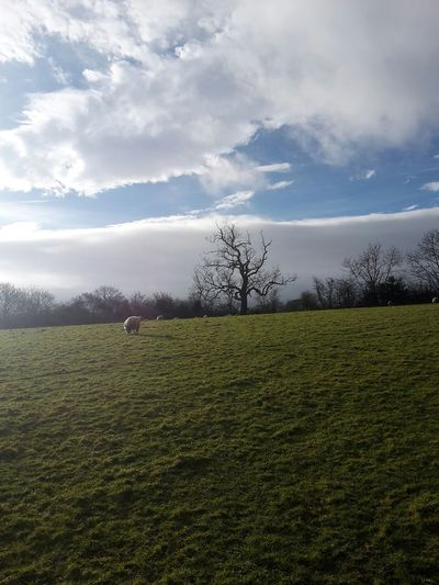 No Edit No Filter Lone Tree Wintry Tree Sheep Beautiful Nature Knaresborough Heavenly Clouds And Sky