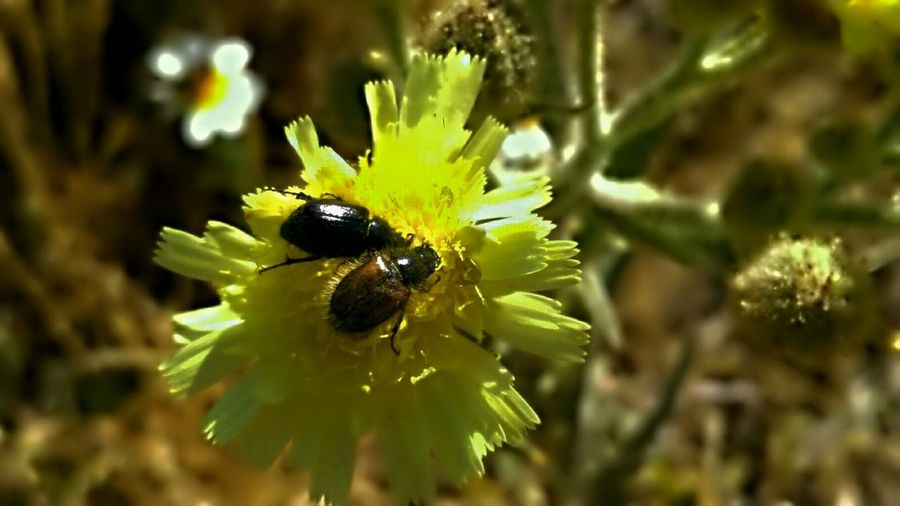 Insect Flower One Animal Animals In The Wild Animal Wildlife Plant Nature Animal Themes Petal Fragility Yellow Focus On Foreground No People Close-up Bee Beauty In Nature Two Insects Beauty In Nature Outdoors Freshness Day Flower Head