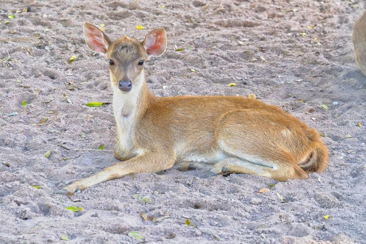 Animal Themes Mammal One Animal Animals In The Wild Animal Wildlife Day Sand Portrait Looking At Camera No People Nature Outdoors Deer ♥♥