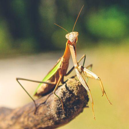 EyeEm Selects Insect Outdoors Nature Animal Wildlife praying mantis