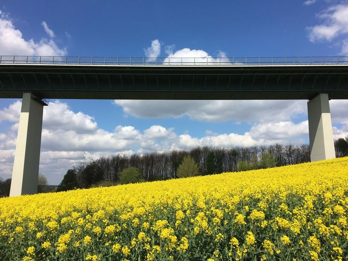 Low angle view of bridge by yellow flowers blooming on field