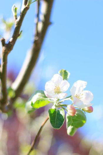 Blau Ast Baum Blüte Plant Flower Flowering Plant Freshness Beauty In Nature