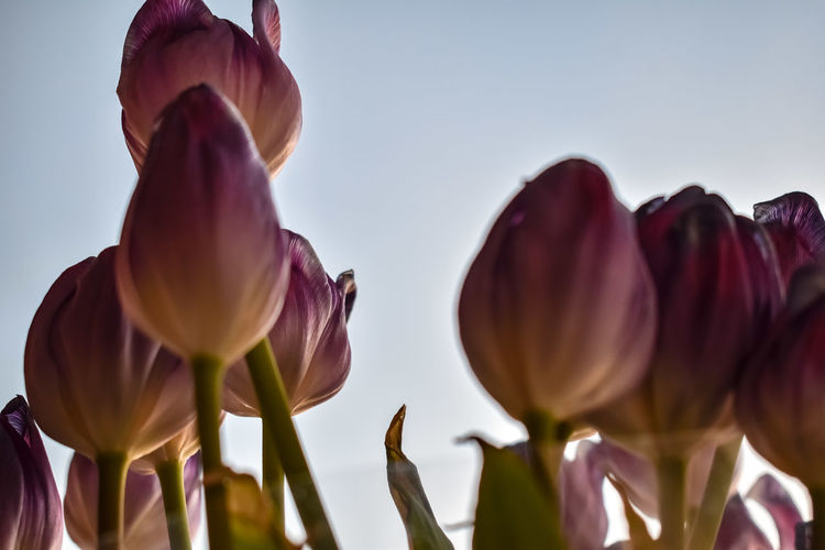 Flowers,Plants & Garden Flower Head Flower Collection Springtime Spring Flowers Sum Sky Nature Nature_collection Nature Photography Naturelovers Nature On Your Doorstep Pink Nature_perfection Naturephotography Tulips Colors Colorful Violet Flowers Violet