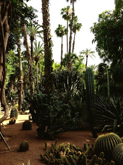 Morocco Blues Cactusporn shapes