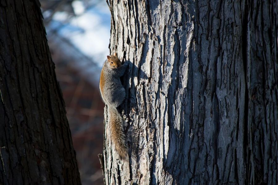Northern grey squirrel on maple tree in winter nature background One Animal Animal Themes Animals In The Wild Tree Trunk Wood - Material Animal Wildlife Tree Focus On Foreground Textured  No People Outdoors Day Nature Sky Close-up Perching Grey Squirrel Squirrel Nature Photography Backgrounds