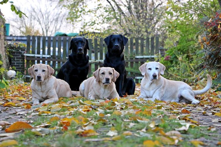 Portrait of labrador retrievers relaxing on field during autumn