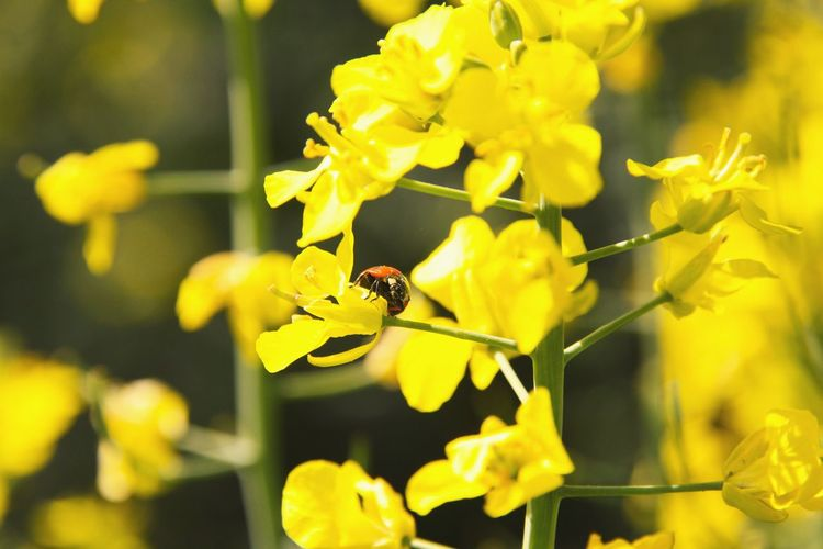 Paint The Town Yellow Insect Animals In The Wild One Animal Animal Wildlife Animal Themes Yellow Flower Fragility Plant Nature Outdoors Close-up Perching No People Day Beauty In Nature Freshness Ladybug Perspectives On Nature