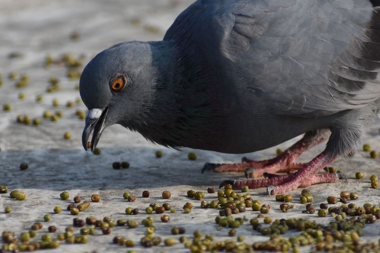 Close-up of pigeon eating in lake
